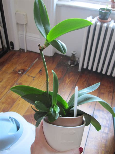 Teh Vanila Ekstrak orchid keikis what they are and what to do with them
