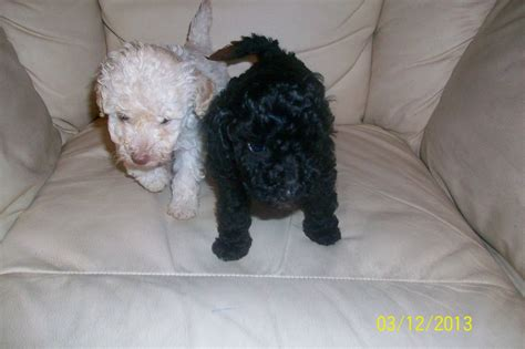 poodle for sale poodles for sale blackwood caerphilly pets4homes