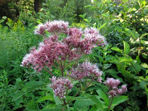 joe pye weed plant growing and caring for joe pye weeds in the garden