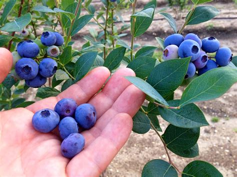 Blueberry Garden by Blueberry Gardening Growing Big Blueberries In Your Own