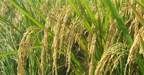 cara membuat zpt tanaman padi budidaya tanaman padi sawah