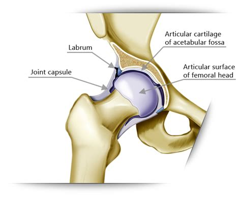 diagram of the hip human anatomy diagram labrum articular hip joint images
