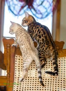 bengal cat colors interesting facts and beautiful photos of bengal cats