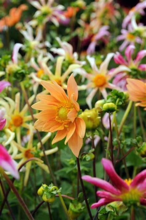 Dahlien Garten Pflanzen by Dahlien Die Besten Pflegetipps Pflanzen Blumen Und