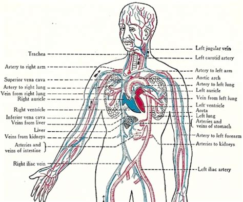 anatomy coloring book best purpose of the circulatory system