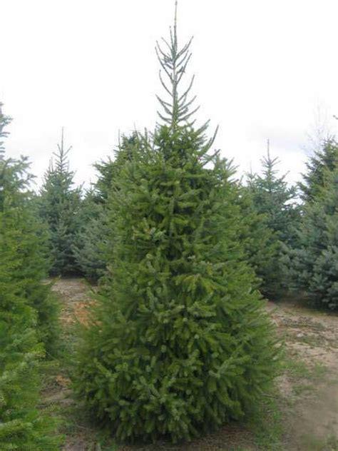 serbian spruce tree serbian spruce coniferous forest