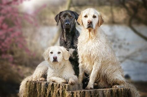 show me a golden retriever yes dogs also best friends i want to show you my golden retriever mali s