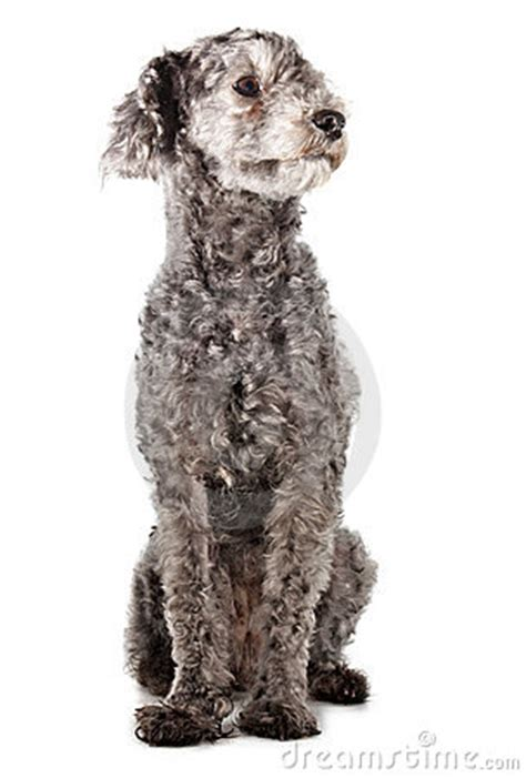 grey poodle stock images image