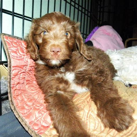 mini labradoodles washington state mini f1 aussiedoodle puppies for sale aussiedoodle and