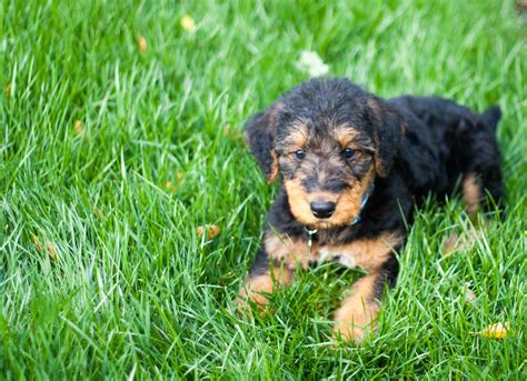 airedale terrier puppies airedale terriers puppy on the grass photo and wallpaper beautiful airedale terriers
