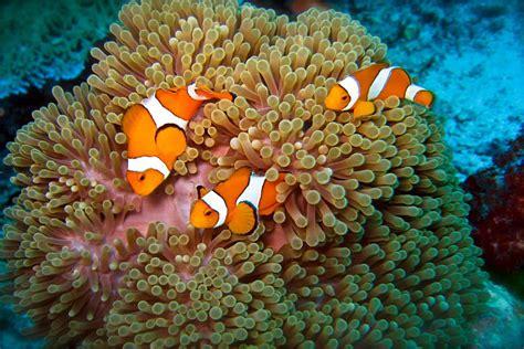 Fish Itu Ikan nemo itu clown fish atau ikan badut gambar gambar ikan