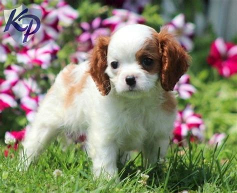 king charles cavalier puppies for sale in pa drew cavalier king charles spaniel puppies for sale in pa keystone puppies