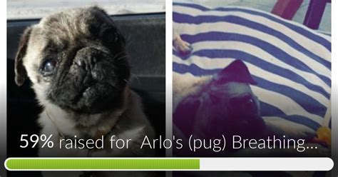 pugs breathing fundraiser by brittny rivera arlo s pug breathing surgery