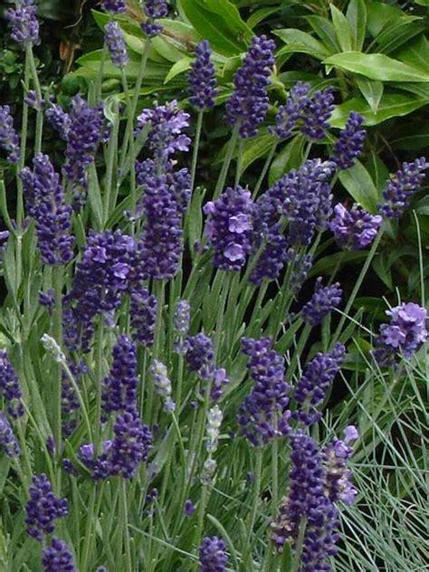 lavandula ellagance purple bluestone perennials