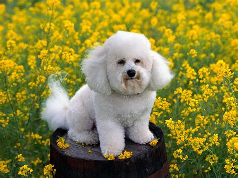 bichon frise puppies bichon frise dogs wallpaper 13248856 fanpop