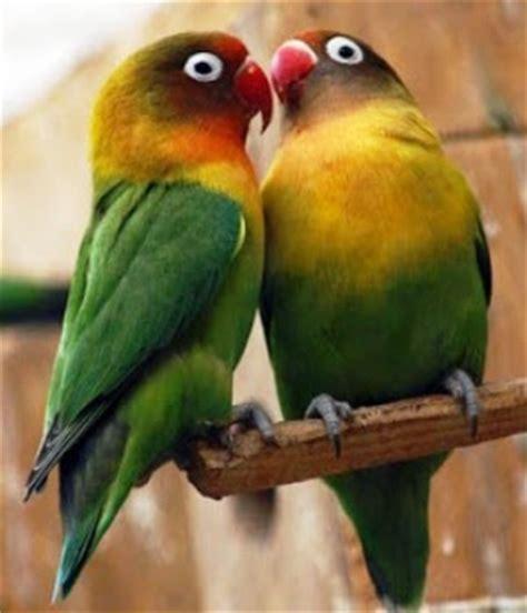 Lilian Hitam mengenal burung lovebird labet burung mania
