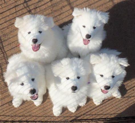 samoyed colors 889 best images about samoyeds on samoyed dogs