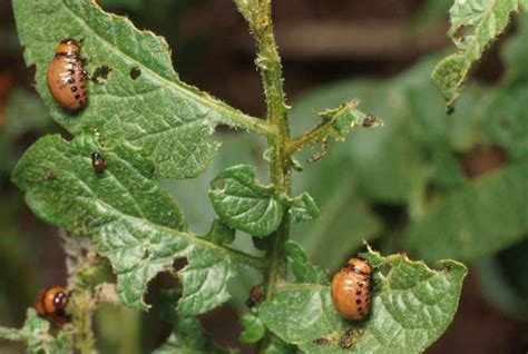 pests in garden colorado potato beetles in home gardens insects