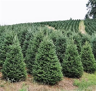 best rated fresh trees delivered to home buy a real tree live premium grade fraser fir for sale