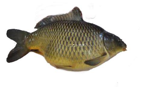 cara membuat umpan ikan mas mentah juni 2015 resep umpan ikan paling jitu