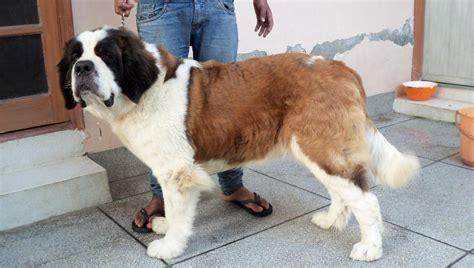 St.Bernard Puppies for Sale(abhishek sharma 1)(11108