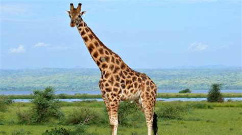 la giraffa vanitosa la giraffa vanitosa thinglink