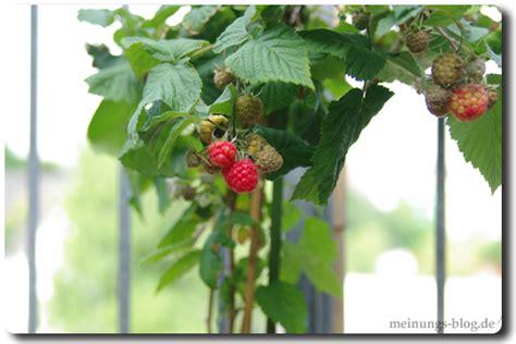 himbeeren pflanzen balkon obst und gem 252 se auf dem balkon pflanzen das meinungs
