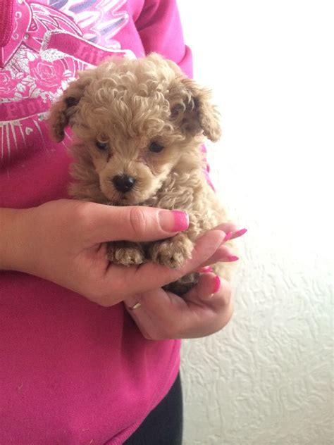 tiny poodle puppies for sale teacup poodle puppies for sale tiny poodle puppies auto design tech