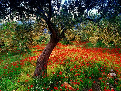 olive tree wallpaper the elite lessons for the poor poppies and olive tree wallpaper some links inkbluesky