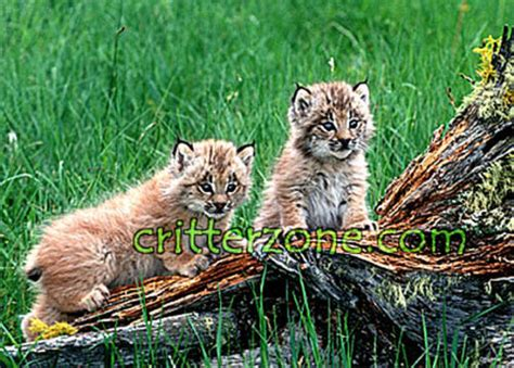 cubs newborn fan club baby animals images lynx cubs wallpaper and background