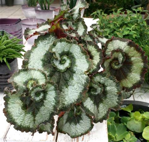 rex begonia for sale images