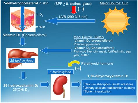 d protein during pregnancy nutrients free text vitamin d and its during