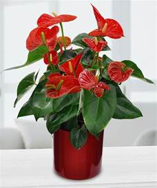 in door plants pot three four plants argements potted anthurium lily in minneapolis mn schaaf floral