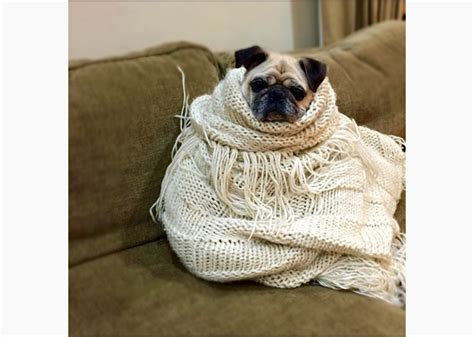pug in a blanket pug in a blanket blank template imgflip
