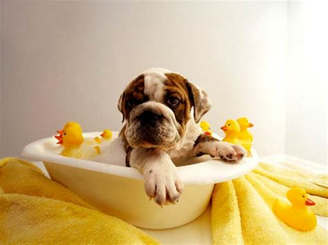 how often to bathe a puppy caring for your