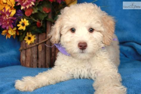 cavapoo puppies for sale missouri cavapoo puppy for sale near joplin missouri f6647d17 8a41