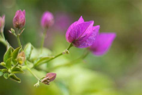 Bougenville Violet violet bougainvillea