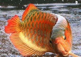 Makanan Ikan Hias Naga ikan hias air tawar jual ikan hias murah