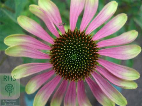 Echinacea Green Envy 3466 echinacea green envy echinacea 7 495 7185988 echinacea