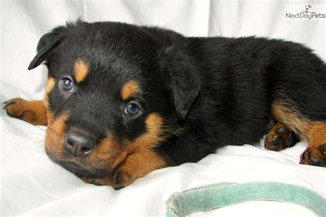 puppy rottweiler for sale near me rottweiler for sale for 1 200 near grand rapids michigan 9aa1ea3a c031