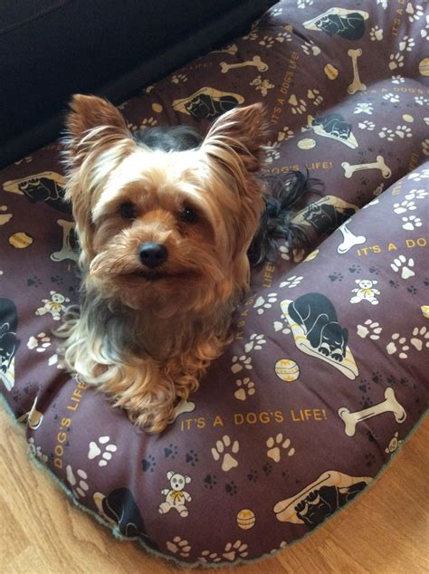yorkie dogs for sale terrier for sale barnsley south pets4homes