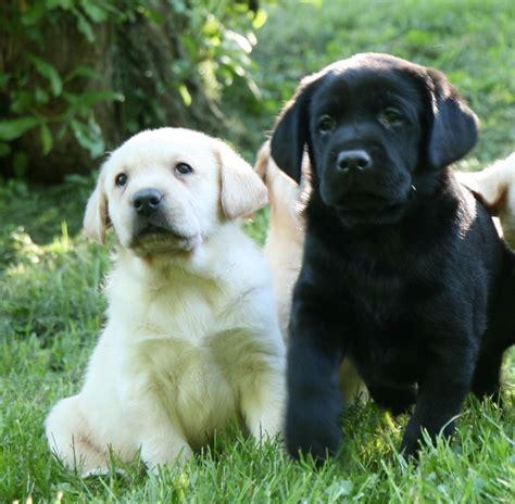 lab retriever puppies yellow chocolate black labrador retriever puppies for