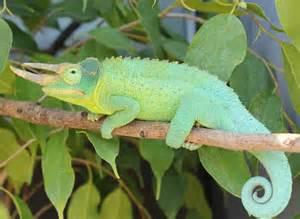 jackson s chameleon facts habitat diet life cycle baby