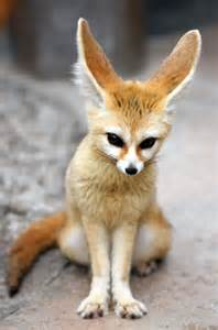 exotic pets fennec fox share the knownledge
