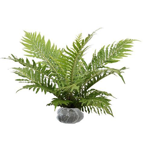 tanaman paku fleknum bibitbunga