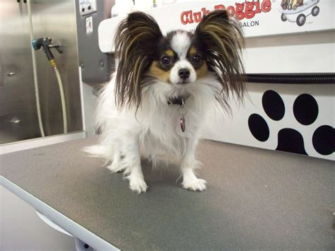 papillion tail how long to keep hair haircuts for papillon dogs related keywords haircuts for
