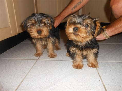 yorkies for sale in east teacup puppies for sale uk east teacup yorkie for