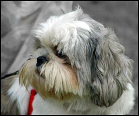 shih tzu ear problems grooming by breed breeds picture