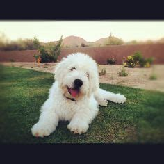 mini goldendoodle tn labradoodle puppies for sale dogs goldendoodles for sale