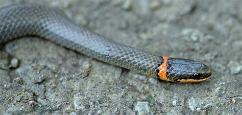 black snake with orange ring around neck mobugs prairie ringneck snake